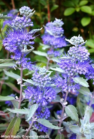 Caryopteris x clandonensis 'Sterling Silver' - ořechoplodec