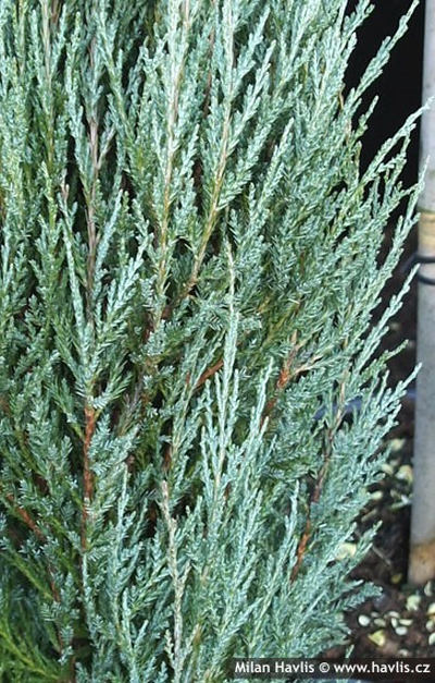 Juniperus scopulorum 'Blue Arrow' - jalovec skalní