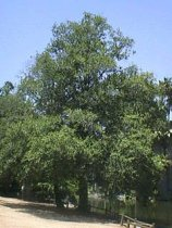 White Alder Shade Tree