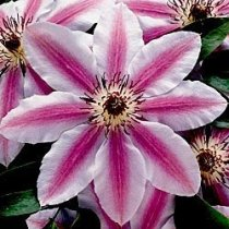Hybrid Clematis - Nelly Moser (Red-Barred Mauve)