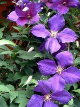 Clematis Jackmanii Vine - POTTED & Staked - SALE*