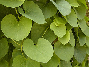 Aristolochia durior