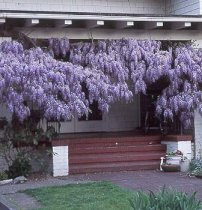 Blue Chinese Wisteria Plants
