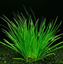 Acorus gramineus - Japanese sweet flag, Japanese rush