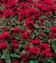 Monarda didyma 'Panorama Red Shades' - Bee Balm, Beebalm