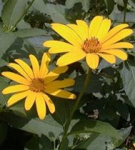 Heliopsis helianthoides - False Sunflower, Ox-Eye