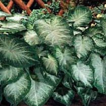 Caladium bicolor 'Aaron' - Fancy Leafed Caladium