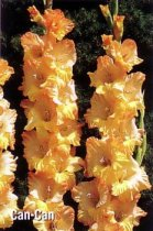 Can-Can Super Gladiolus
