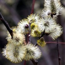 Salix caprea - Weeping Pussywillow