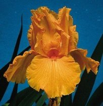 Iris 'Firebreather' - Tall Bearded Iris