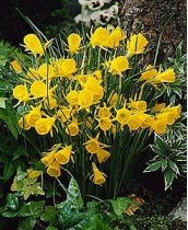 Narcissus bulbocodium var. conspicuus 'Golden Bells' - Miniature Daffodil