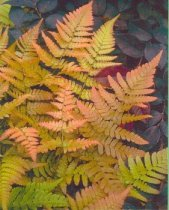 Dryopteris erythrosora - Autumn Fern