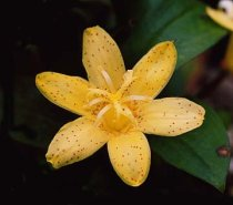 Tricyrtis 'Golden leopard' - Toad Lily