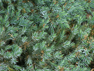 Juniperus squamata Blue Carpet - jalovec