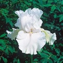 Iris 'Immortality' - Tall Bearded Iris