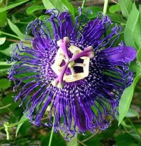 Passiflora 'Inspiration' - Passion Flower