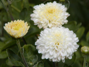 Chrysanthemum indicum - chryzantéma, listopadka