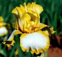 Iris 'Joyce Terry' - Tall Bearded Iris