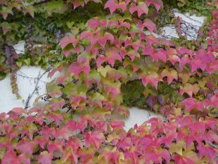 Parthenocissus tricuspidata 'Veitchii' - Boston Ivy