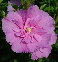 Hibiscus syriacus 'Lavender Chiffon' - Rose of Sharon