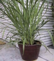 Cymbopogon citratus - West Indian Lemon Grass