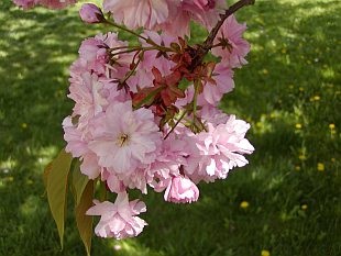 Prunus serrulata 'Kanzan' - Japanese Flowering Cherry