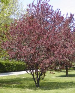Prunus cerasifera 'Nigra' - Purple Leaved Flowering Plum