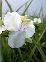 Tradescantia 'Little White Doll' - Spiderwort
