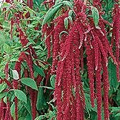 Amaranthus caudatus - Love-Lies-Bleeding