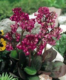 Bergenia 'Magic Giant' - Bergenia