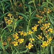 Tagetes lucida - Mexican Mint Marigold