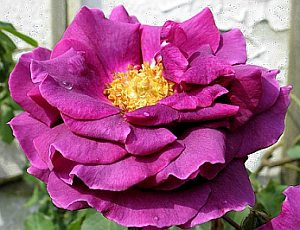 Rosa 'Blue Boy' - Rose