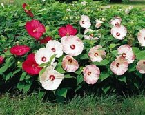 Hibiscus moscheutos 'Disco Belle Mixed' - Rose Mallow