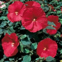 Hibiscus moscheutos 'Disco Belle Rosy Red' - Hardy Hibiscus