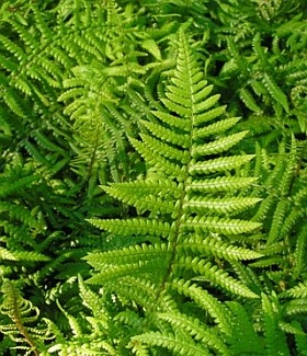 Dryopteris affinis - golden male fern