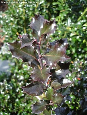 Ilex x meserveae 'Blue Angel'® - blue holly, Meserve holly