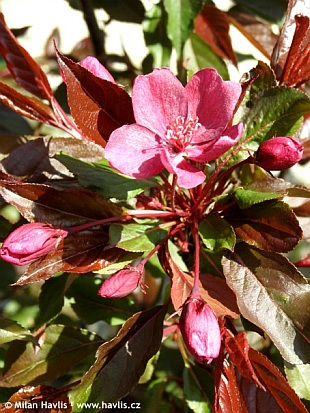 Malus COCCINELLA® 'Courtarou' - crab apple