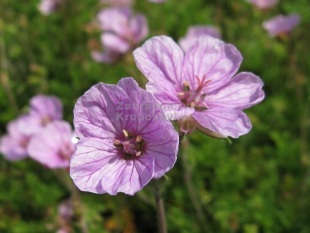 Erodium 'Country Park' - pumpava