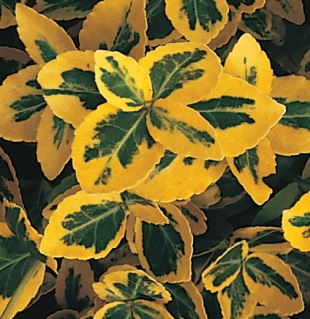 Euonymus fortunei 'Emerald 'n' Gold' - brslen Fortuneův (READERS DIGEST VÝBĚR)