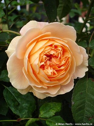 Rosa 'Crown Princess Margaretta' - růže