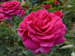 Rosa 'Big Purple' - růže (TIP ZC CS)