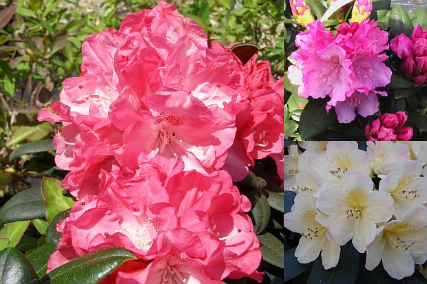 Rododendrony: Rhododendron yakushimanum
