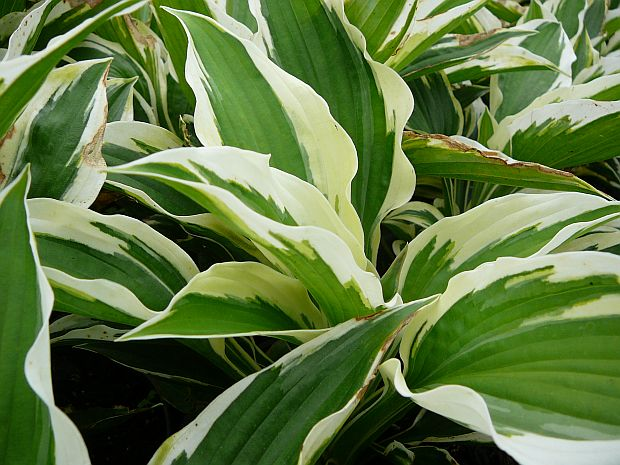 Hosta 'Minute Man' - bohyška