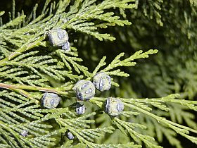 Chamaecyparis lawsoniana