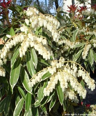 Pieris japonica 'Flaming Silver' - pieris japonský