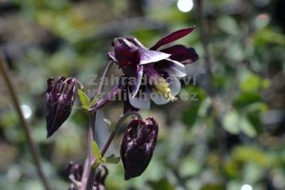 Aquilegia vulgaris 'William Guiness' - orlíček