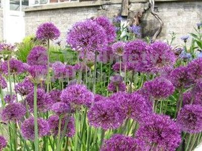 Allium hollandicum 'Purple Sensation' - česnek holadský