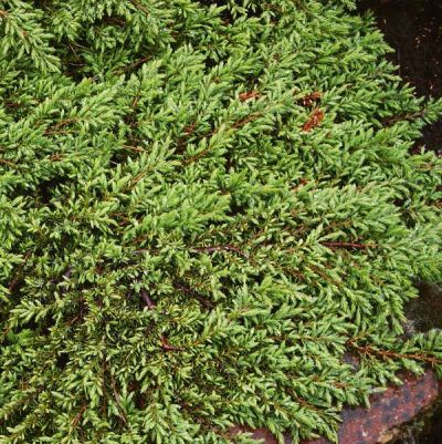 Juniperus communis 'Green Carpeth' - jalovec obecný