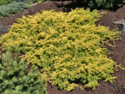 Juniperus conferta 'All Gold' - jalovec pobřežní