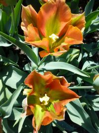 Tulipán 'Tricolored Beauty'